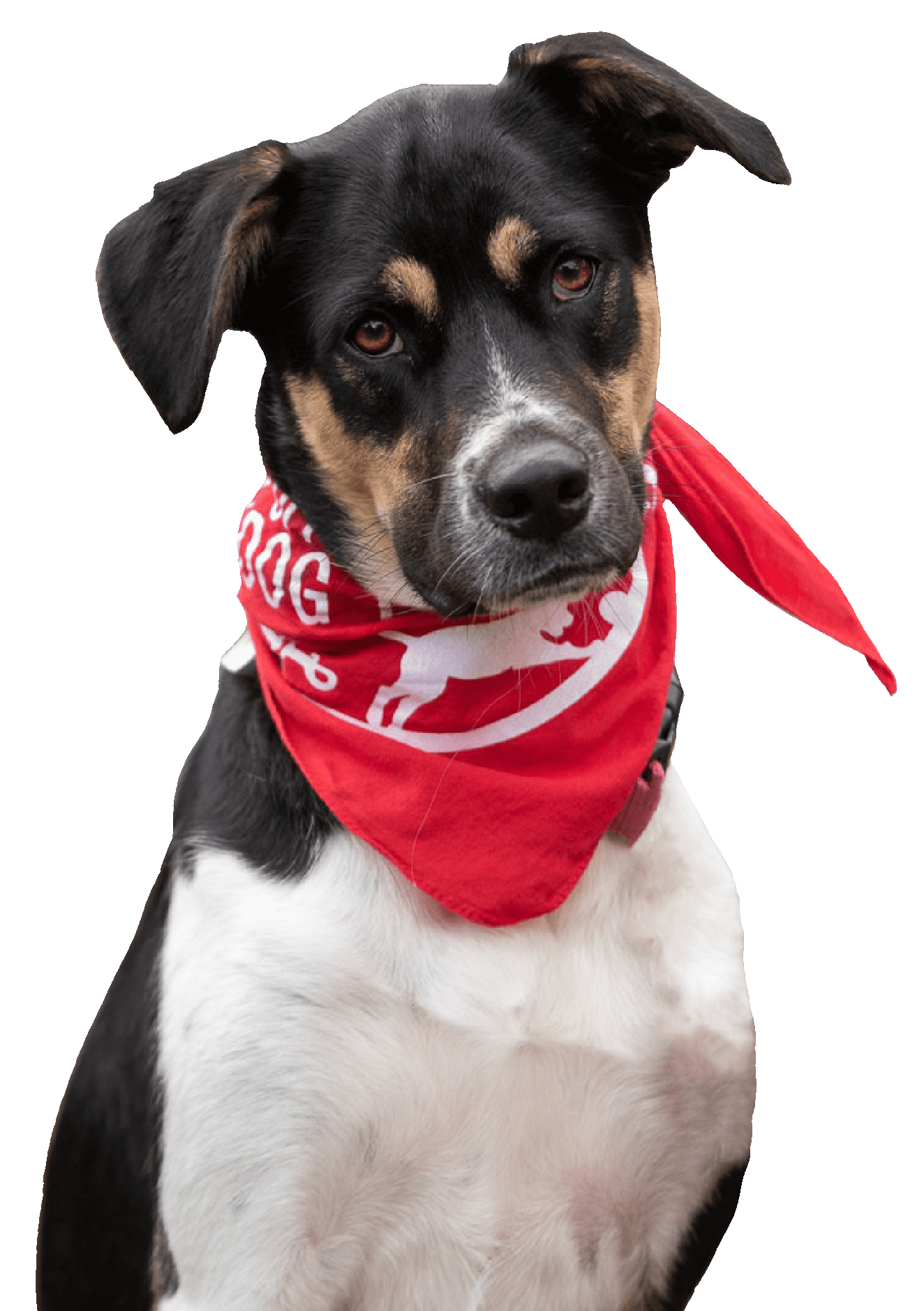 Black, Brown & White puppy wearing Red Off Leash Dog training bandana.