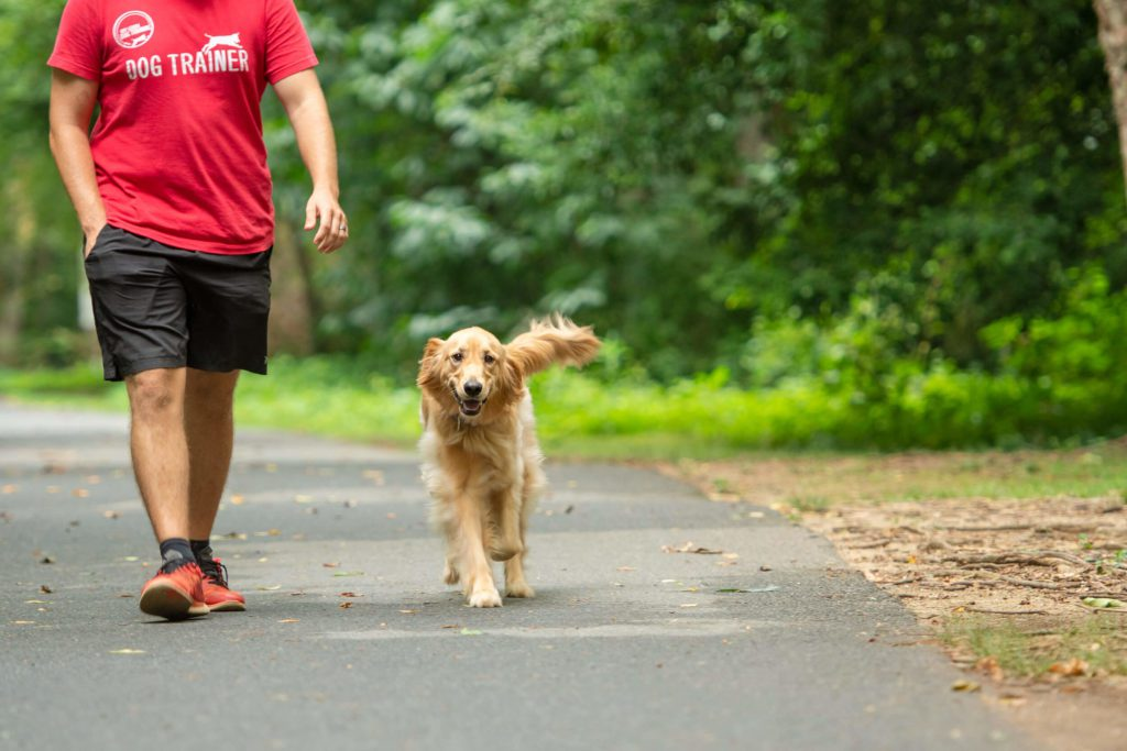 Golden retriever walking off-leash next to Charlotte dog trainer.