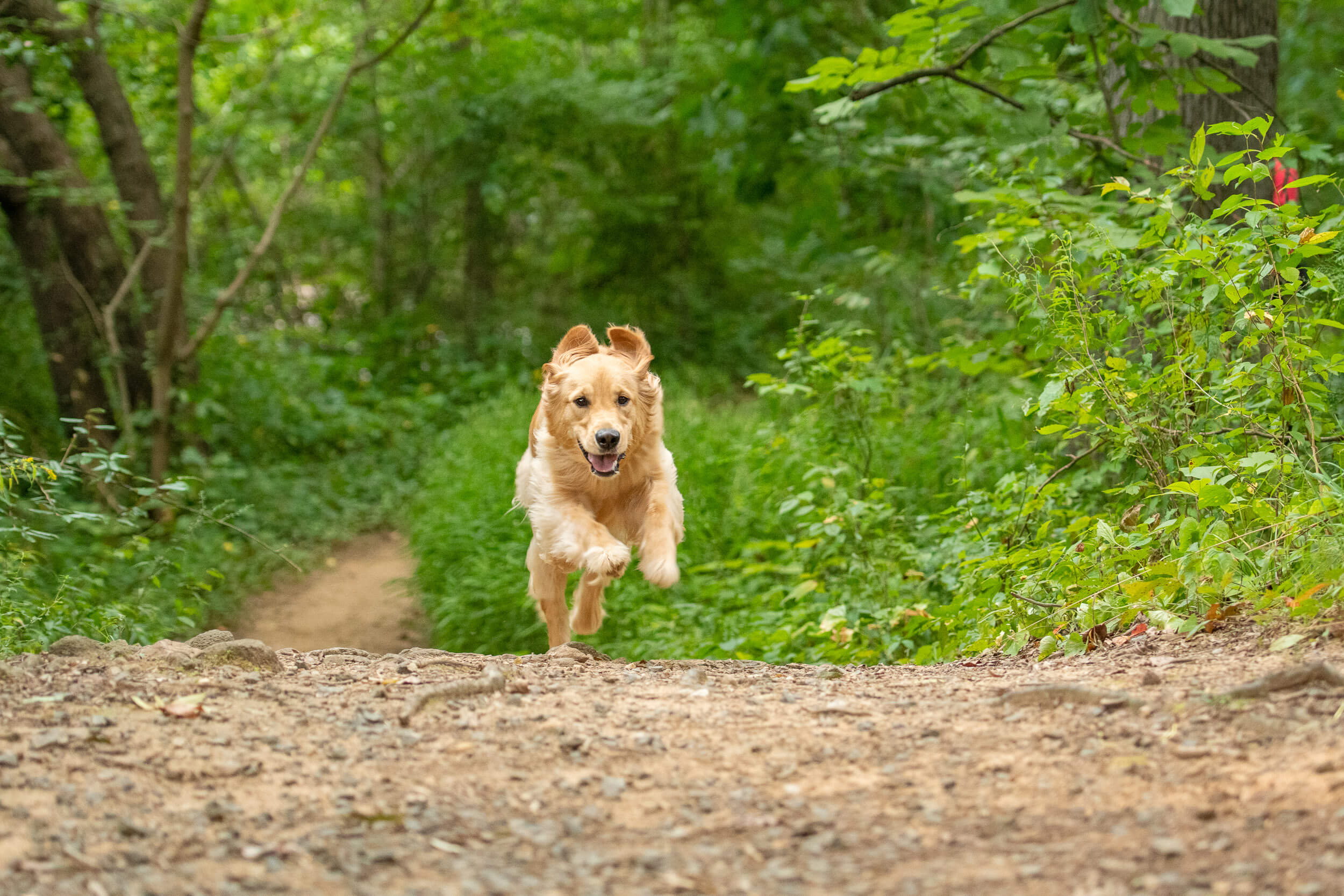 Golden retriever running down trail off-leash after taking puppy training classes.