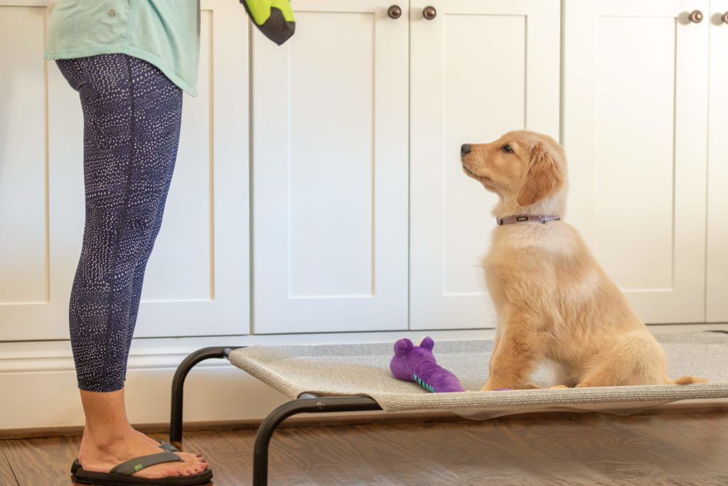 Focused Golden retriever puppy doing in-home puppy training.