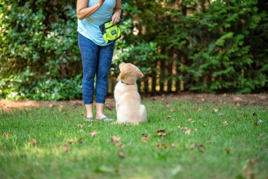 Golden retriever outside in green grass during puppy training class.
